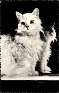 Ak Katze mit langem Fell, Portrait