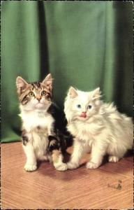 Ak Getigerte Kurzhaarkatze und weiße langhaarige Katze