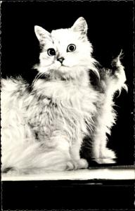 Ak Langhaarige weiße Katze vor einem Spiegel