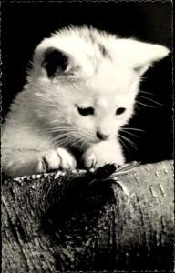 Ak Kleine weiße Katze mit kurzem Fell