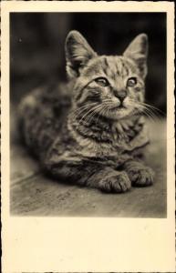 Ak Liegende getigerte Katze mit kurzem Fell