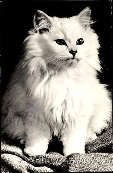 Ak Weiße Katze mit langem Fell 0