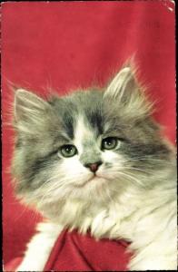 Ak Grau weiße Katze mit langem Fell