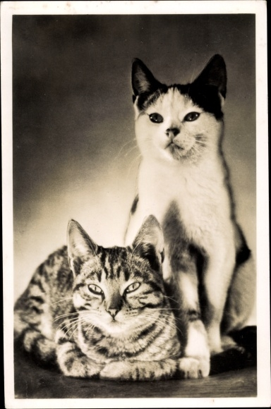 Ak Liegende getigerte Katze, sitzende schwarz weiße Katze 0