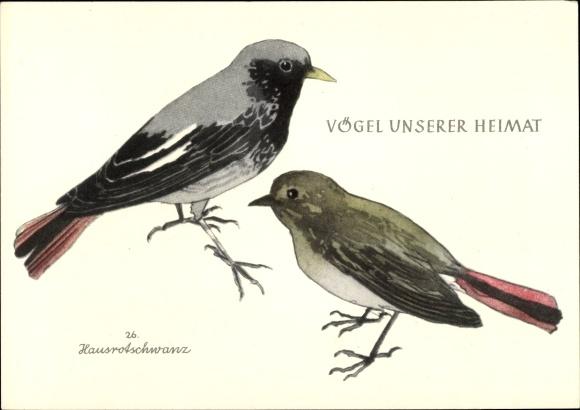 Künstler Ak Vögel unserer Heimat, Hausrotschwanz 0