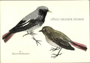Künstler Ak Vögel unserer Heimat, Hausrotschwanz