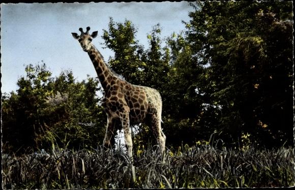 Ak Bildnis einer Giraffe 0