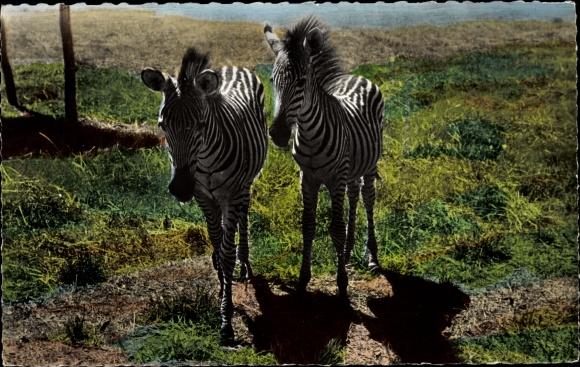 Ak Bildnis zweier Zebras 0