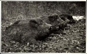 Foto Ak Vier tote Wildschweine