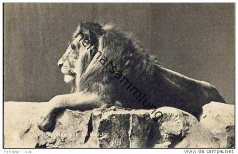 Berlin Zoologischer Garten - Löwe - Foto-AK 1917