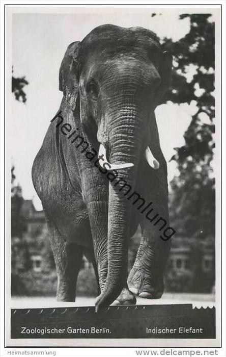 Berlin - Indischer Elefant - Foto-AK ca. 1935