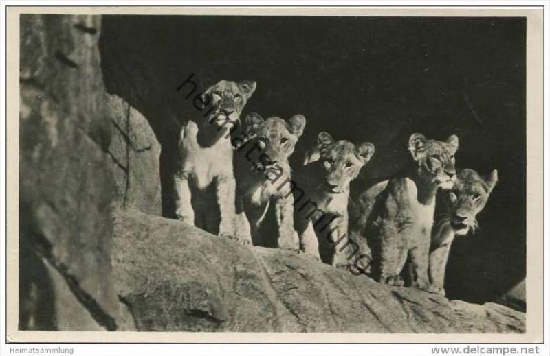 Hamburg - Stellingen - Löwinnen in der Löwenschlucht - Foto-AK gel. 1937