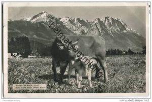 Oberstdorf - Kuh und Kalb - Foto-AK