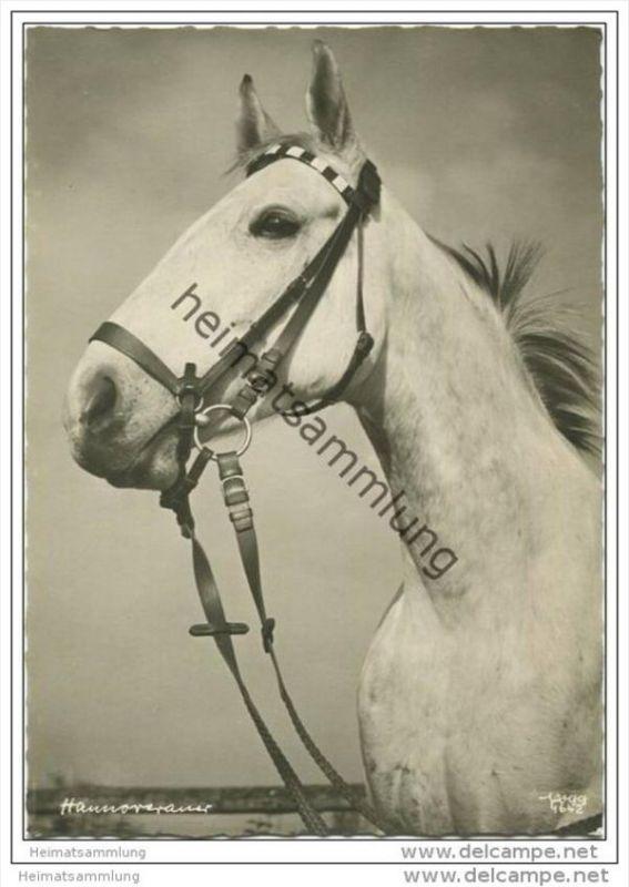 Pferd - Hannoveraner - Foto-Einzelhandabzug - Popp-Verlag Heidelberg Nr. 1642 - Aufnahme Dipl-Ing. Popp