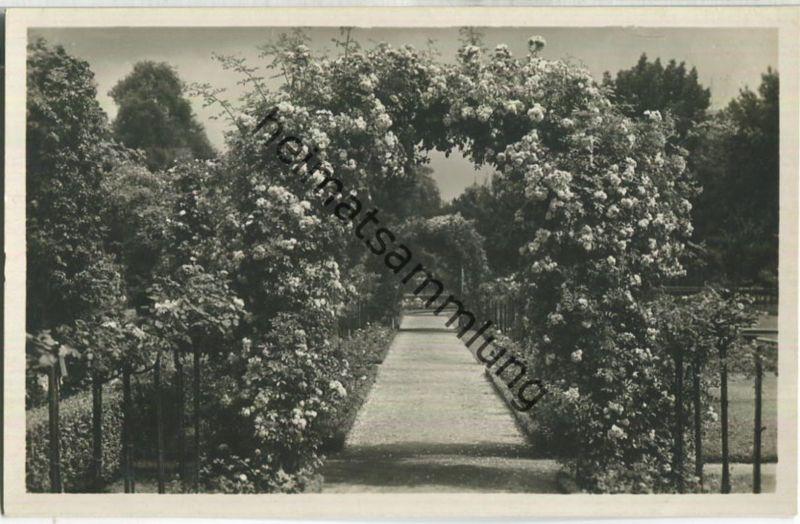 Karlsruhe - Stadtgarten - Rosengarten - Foto-Ansichtskarte - Verlag J. Velten Karlsruhe 1930 - Aufnahme Rolf Kellner