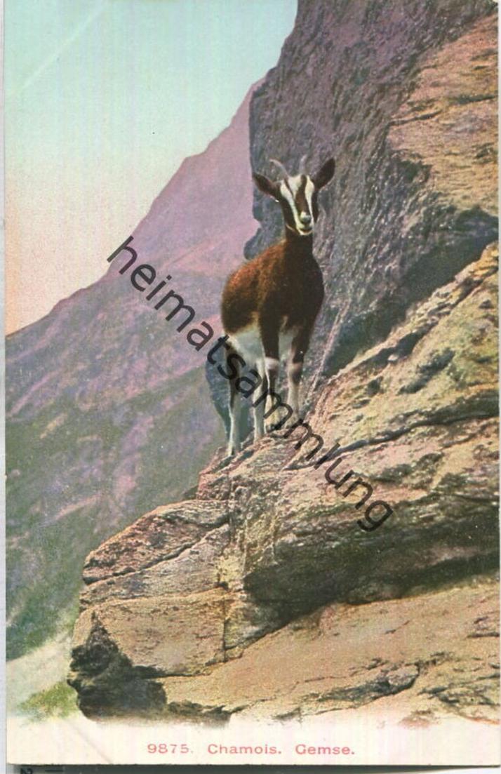 Bild zu Chamois - Gemse -...