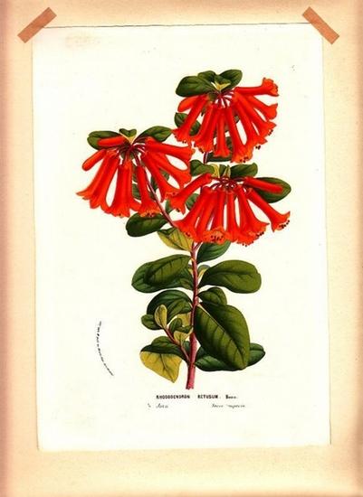 Handolorierte Lithographie. - Rhododendron Retusum. Handolorierte Lithographie. 0