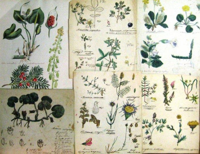 """o. N.: Konvolut dekorativer colorierter Tinten-, Bleistift- und Tuschzeichnungen zur Thematik BLUMEN UND PFLANZEN, enthalten sind: """"Süße Wolfsmilch"""" ; """"Astralagues und a."""" ; """"Chrysanthemum segetum ua."""" ; """"Potentilla u..."""