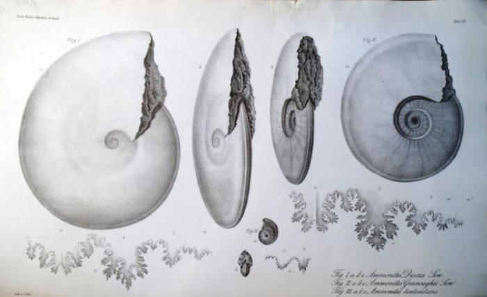 Buch, Leopold von ; Unte, C. (Lith.) ; Renaud, A. (Druck):- Lithographierte Tafel VII aus L.v. Buch`s gesammelten Schriften IV. Band: Fig. 1 a, b, c Ammonites Discus Sow. Fig. 2 a, b, c Ammonites Greenoughii Sow. Fig. 3 a, b, c Ammonites lenticularis.