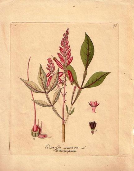 Bitterholzbaum. - Colorierter Originalstich. Quassia amara- Bitterholzbaum. Blatt No. 93.
