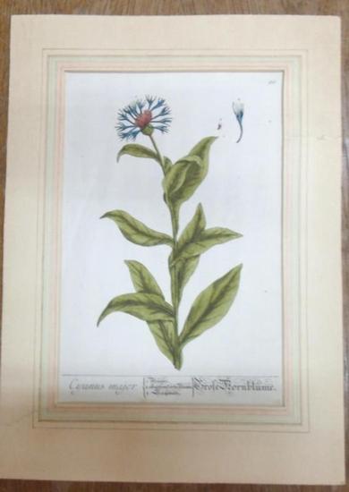 Kornblume. - Colorierter Originalstich. Cyranus Major. Große Kornblume. Blatt bzw. Tafel No. 66.
