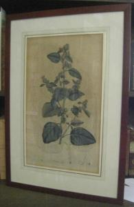 Usteri, Paul(us) : Arctium Lappa L. 239 ( 238 ) - ( Die große Klette ). - Aus: Annalen der Botanick ( Botanik ), Band 4, erschienen in Zürich bei Orell, Gessner, Füssli und Comp., 1793.