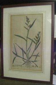 Usteri, Paul(us) : Panicum crus galli L. 243 ( 244) - ( Hühnerhirse ). - Aus: Annalen der Botanick ( Botanik ), Band 4, erschienen in Zürich bei Orell, Gessner, Füssli und Comp., 1793.