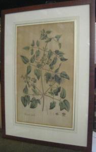 Usteri, Paul(us) : Clematis Vitalba L. 246 ( 244 ) - ( Gewöhnliche Waldrebe ). - Aus: Annalen der Botanick ( Botanik ), Band 4, erschienen in Zürich bei Orell, Gessner, Füssli und Comp., 1793.