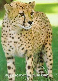 Fota Wildlife Park Ireland Guide to Fota Wildlife Park (Gepard)