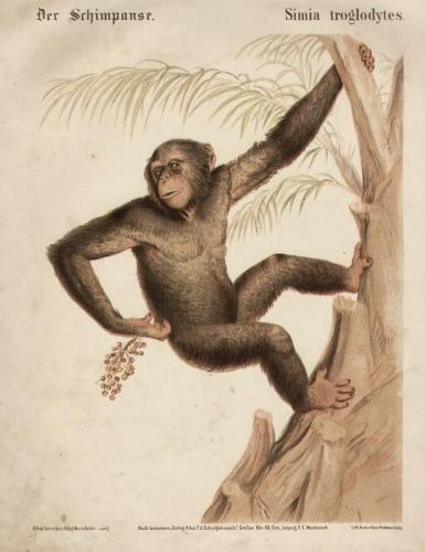 Der Schimpanse. Simia troglodytes. Original-Farblithographie.