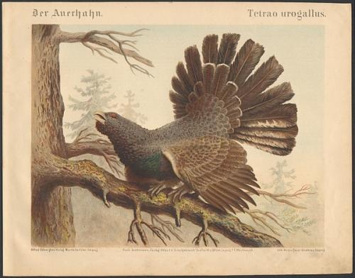 Der Auerhahn. Tetrao urogallus. Original-Farblithographie.