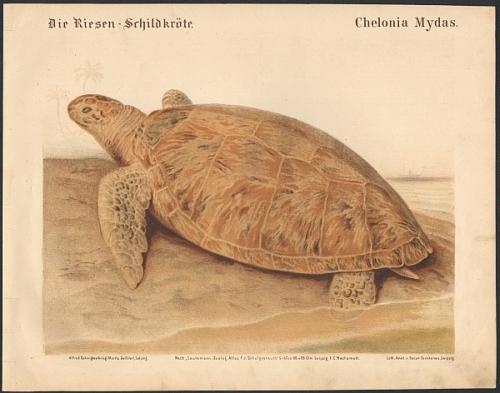 Die Riesen-Schildkröte. Chelonia Mydas. Original-Farblithographie.