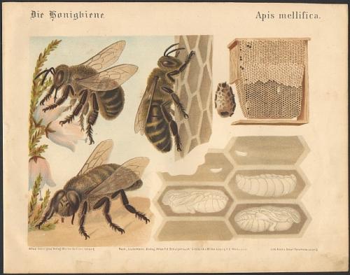 Die Honigbiene. Apis mellifica. Original-Farblithographie.