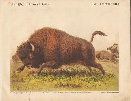 Der Bison (Auerochse). Bos americanus. Original-Farblithographie.