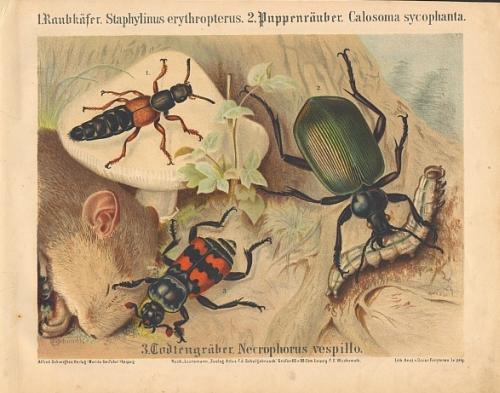 Käfer: 1. Raubkäfer. Staphylinus erythropterus. 2. Puppenräuber. Calosoma sycophanta. Original-Farblithographie.