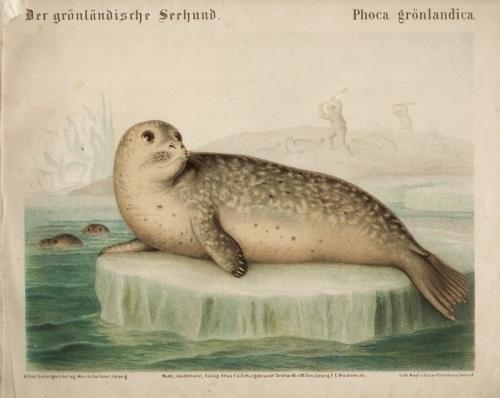 Der grönländische Seehund / Phoca grönlandica. Original-Farblithographie.