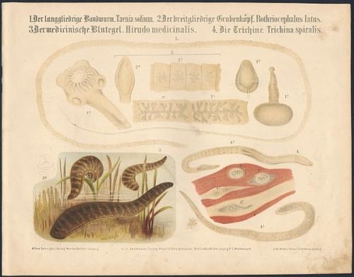 1. Der langgliedrige Bandwurm (Taenia solium). 2. Der breitgliedrige Grubenkoprf (Bothriocephalus latus). 3. Der medicinische Blutegel (Hirudo medicinalis). 4. Die Trichine (Trichina spiralis). Original-Farblithographie.
