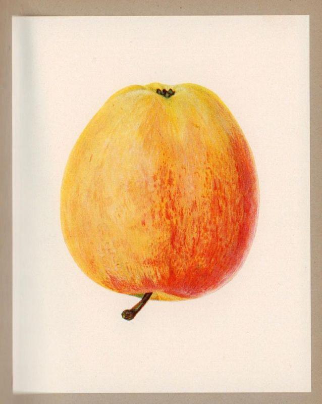 Deutsche Äpfel. Die Handelssorten. BAND 1: Niederelbe. Ein Bildwerk, zusammengestellt u. beschrieben von E. L. Loewel u. Siegfried Labus unter Mitarbeit des Obstbauversuchsringen u. der Bezirksabgabestelle Jork (Altes Land).