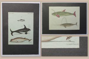 2 kolorierte Kupferstiche Fische Wale aus Betuch Bilderbuch für Kinder um 1810