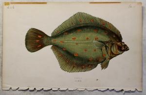Alter Stich coloriert Scholle um 1900 ca. 24x15 cm Grafik Ichthyologie xz