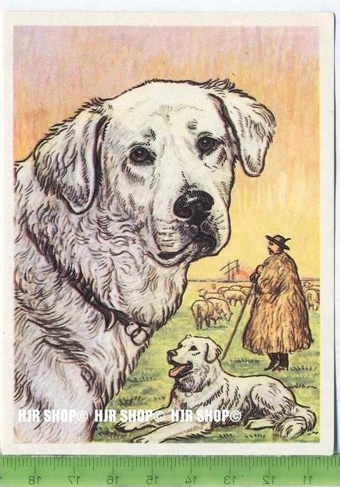 Der Kuvasz, c38 Austria-Bildwerk, Kamerad Hund, Serie II: Schäfer und Hirtenhunde.