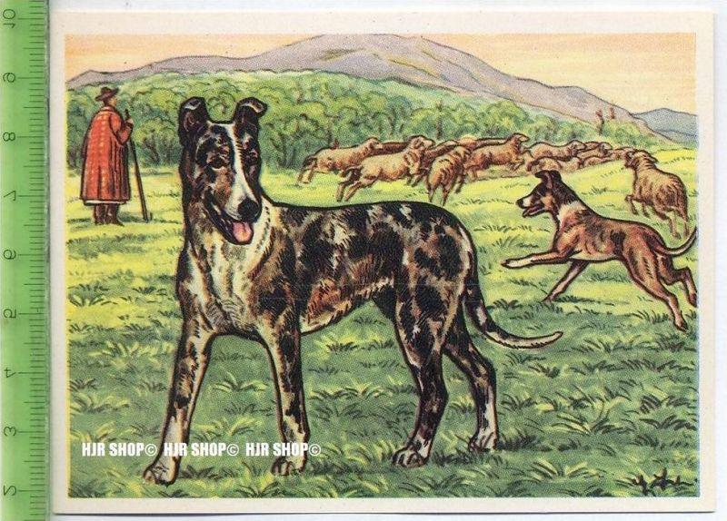 Der glatthaarige Schottische Schäferhund oder Kuzhaar-Collie, c 33 Austria-Bildwerk, Kamerad Hund, Serie II: Schäfer und