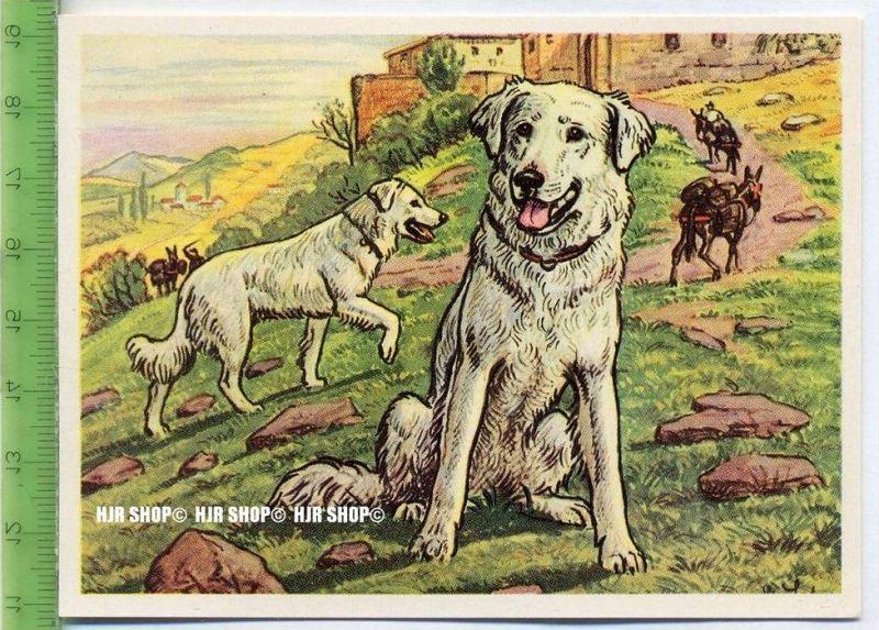 Der Abruzzenhund oder italienische Hirtenhund, c 48 Austria-Bildwerk, Kamerad Hund, Serie II: Schäfer und Hirtenhunde.