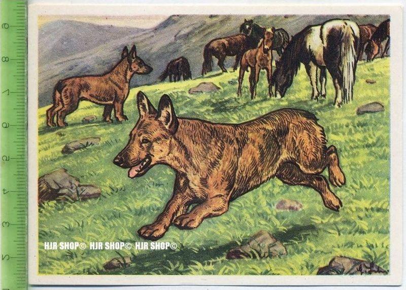 Der Waliser Schäferhund oder Welsh Corgi, c 36 Austria-Bildwerk, Kamerad Hund, Serie II: Schäfer und Hirtenhunde.