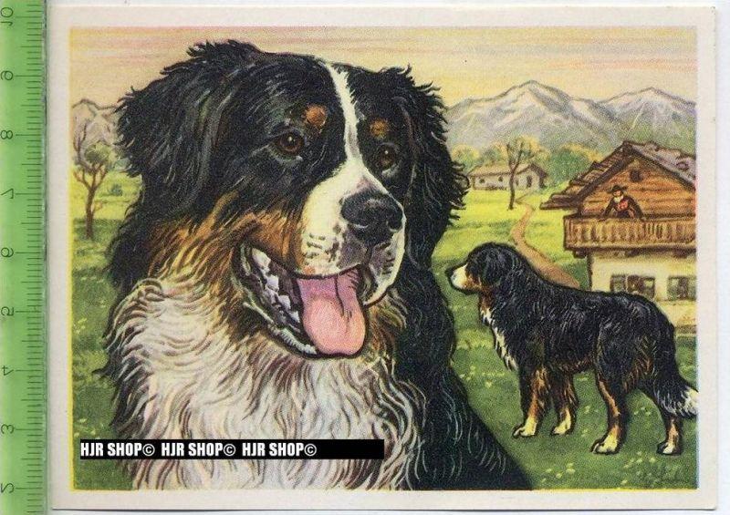 Der Berner Sennenhund oder Dürbächler, c 42 Austria-Bildwerk, Kamerad Hund, Serie II: Schäfer und Hirtenhunde.