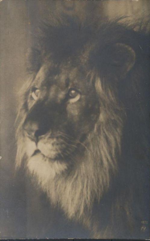 Ansichtskarte Foto Löwen Tiere Raubtiere Zoo