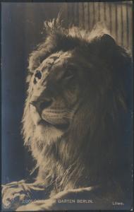 Ansichtskarte Foto Löwen Tiere Raubtiere Zoo Zoologischer Garten Berlin