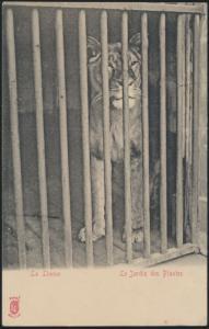Alte Ansichtskarte Tiere Raubtiere Löwen Zoo Tierpark Le Jardin d Plantes selten