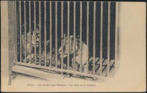 Alte Ansichtskarte Tiere Raubtiere Löwen Zoo Tierpark Paris selten