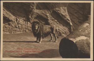 Alte Ansichtskarte Tiere Raubtiere Löwen Zoo Tierpark Hagenbeck Hamburg Stelling